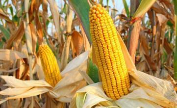 农业部:以玉米为重点推进种植结构调整