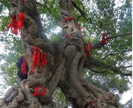 """铜梁明月桥畔有个""""黄桷门"""" 树龄均超300年"""