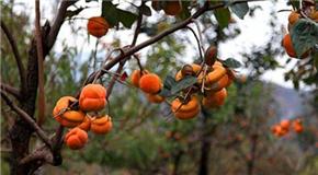 方山柿子红了喜山乡 现代化种植丰产又丰收