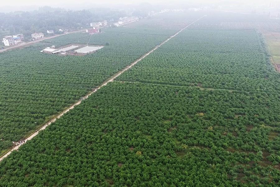 以柠檬为主导产业的潼南田园综合体风光