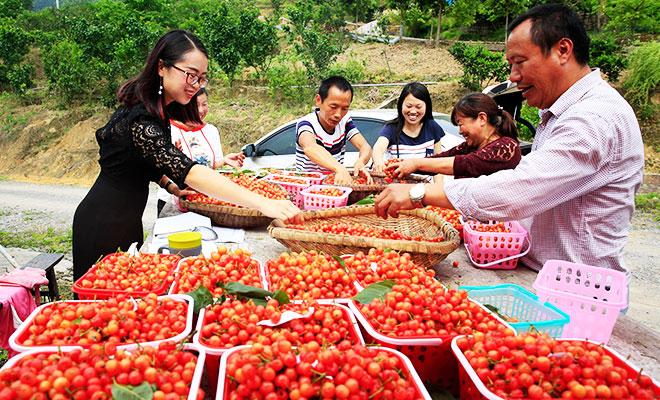 """重庆北碚: 驻村队员扶贫忙 """"朋友圈""""里卖樱桃"""