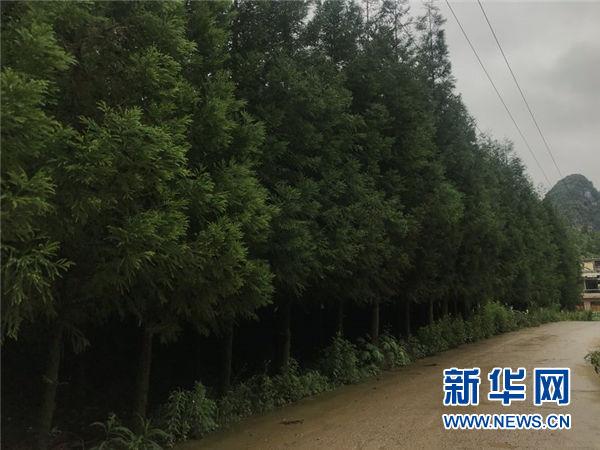 """""""种树卖空气"""":碳汇树为贵州贫困山民增收"""