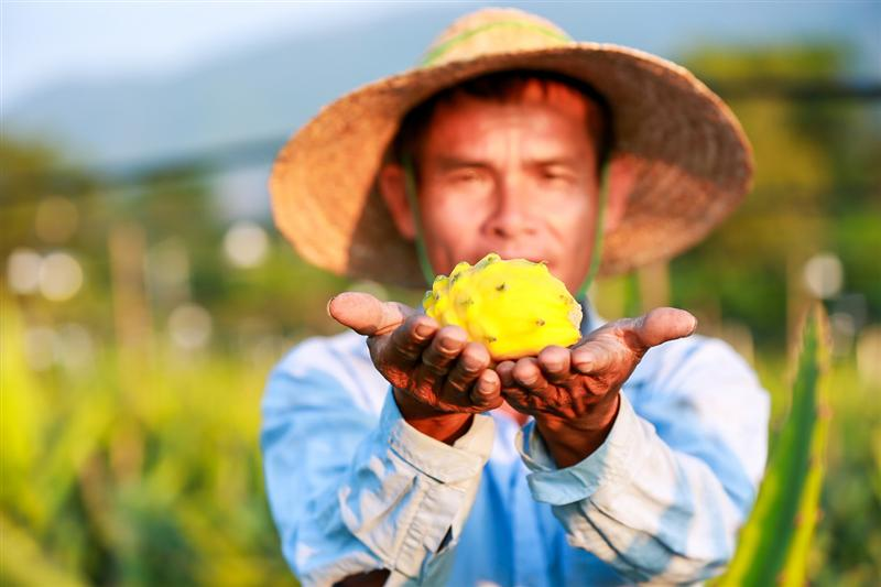 一颗能卖100多元的黄金火龙果,用大数据科技带动农民脱贫致富
