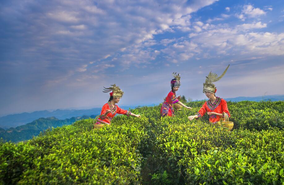 """绿叶变金芽 ——秀山茶产业""""聚变""""之路"""