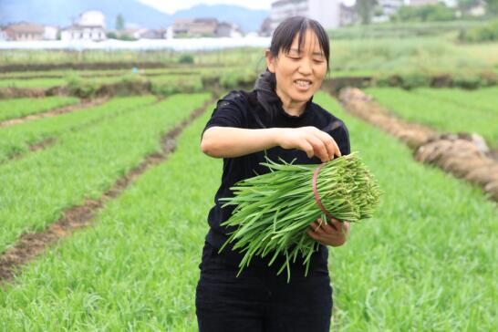 小韭菜不简单  每亩收入过3万