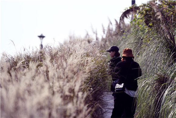 九龙坡:华岩草海湾迎来最佳观赏期 金色芦苇丛引人入胜